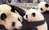 母親にじゃれつくジャイアントパンダの双子(和歌山県白浜町のアドベンチャーワールド)=共同