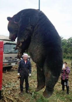 北海道紋別市で射殺された体重400キロにもなるオスのヒグマ(9月、人物の顔を加工)=佐藤常男さん提供