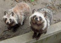 日本に生息するタヌキ=日立市かみね動物園提供・共同