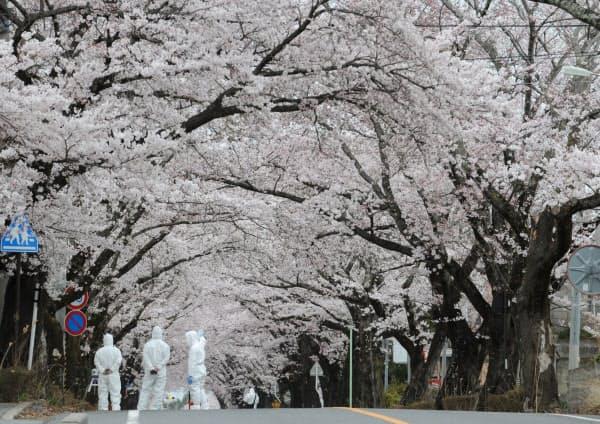 原発事故で立ち入り禁止の福島県富岡町で満開になった「夜の森公園」周辺の桜(2012年4月19日)