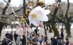 開花したソメイヨシノ(21日午後、東京都千代田区の靖国神社)