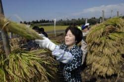 稲刈りに参加する吉村美栄子山形県知事