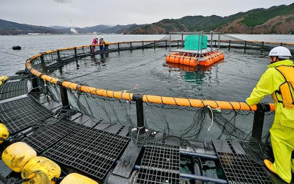 釜石湾内に設置したいけすで約1万匹の稚魚を養殖している(岩手県釜石市)