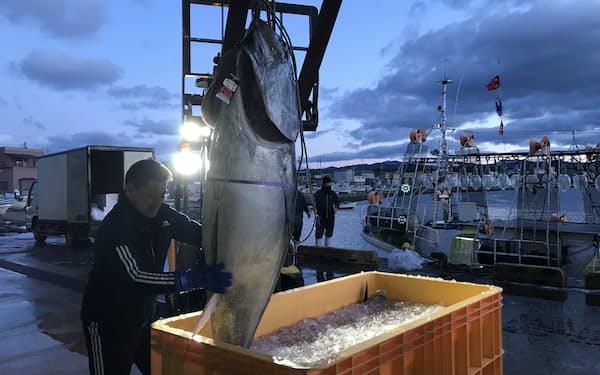 青森県大間などでマグロ漁が本格化