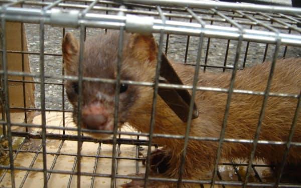 民家で捕獲されたシベリアイタチ(大洋防疫研究所提供)
