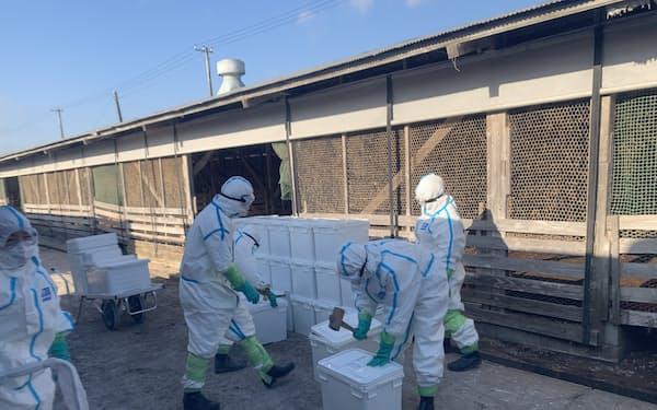 千葉県横芝光町の農場では県職員らが殺処分にあたった(21日午前)