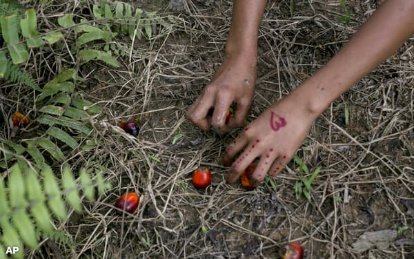 原料調達先の児童労働などの問題が国際社会から厳しい目で見られている(インドネシアのパーム油の原料採取、AP)