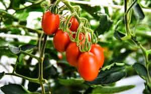 サナテックシードがゲノム編集技術を使って開発したトマト「シシリアンルージュハイギャバ」