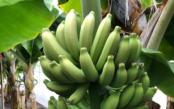 豊かに実ったカネザワフルーツリゾートのバナナ