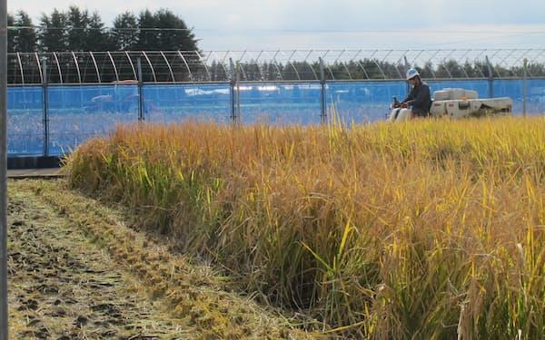 農業・食品産業技術総合研究機構はゲノム編集で収量の多いイネを開発している