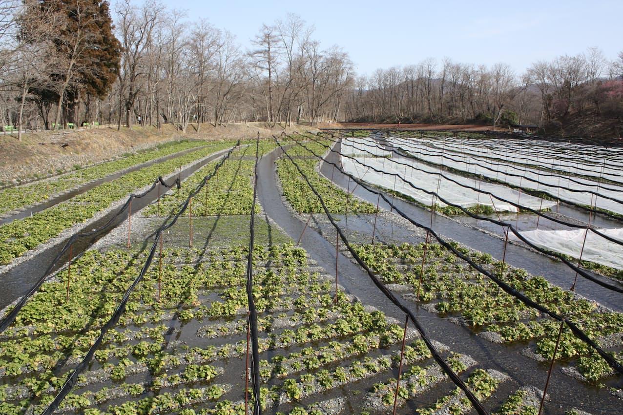 農場内には国内有数のワサビ田が広がる
