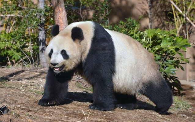 上野のパンダ「シンシン」に発情の兆候、同居準備へ: 日本経済新聞