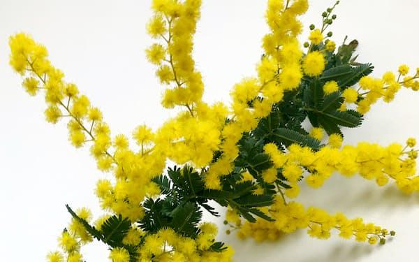 国際女性デーのシンボルは春を告げるミモザ。日本の非正規雇用女性に春の到来が待たれる