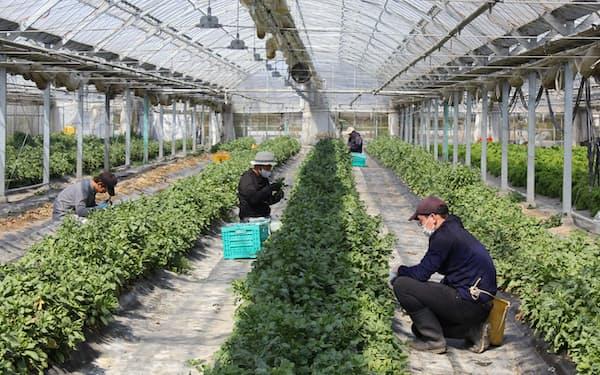 パンドラファームグループ(奈良県五條市)のビ二ールハウスで菊菜の収穫をする山村聡さん(仮名、右)