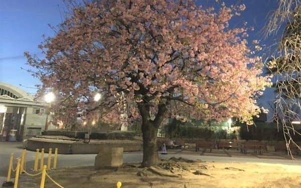 中山競馬場の場内で満開を迎えた河津桜