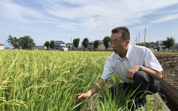 稲の生育をチェックする小田嶋氏(秋田県横手市)