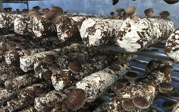 シイタケを採取した菌床ブロックは廃棄していた(岐阜県郡上市)