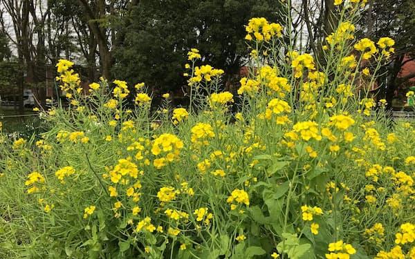 菜の花は盛りを過ぎつつあるが「菜種梅雨」はやってこない(30日、東京都世田谷区)