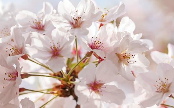東京の開花は3月14日で、昨年に続き統計開始以来最も早かった(3月30日、東京都江東区)