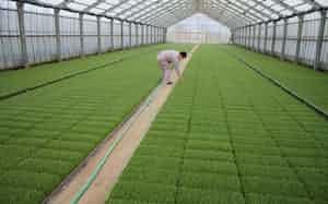 肥料など資材の使い方を品種ごとに見直す(サカタニ農産の育苗用ハウス、富山県南砺市)