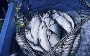 オカムラ食品工業の4月から出荷が始まった養殖サーモン