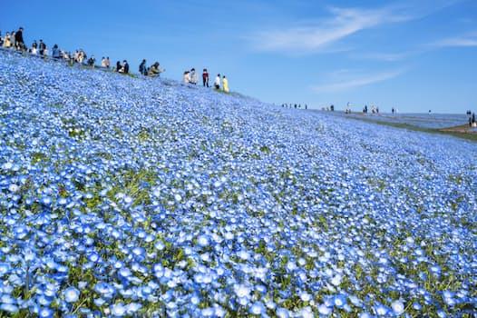 茨城県ひたちなか市の「国営ひたち海浜公園」で見ごろを迎えたネモフィラの花(15日)=共同
