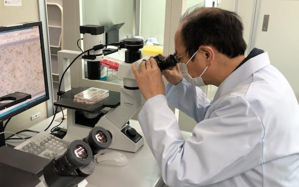京都大学などはiPS細胞からキラーT細胞を作製する研究に取り組む(京都大学の河本宏教授提供)