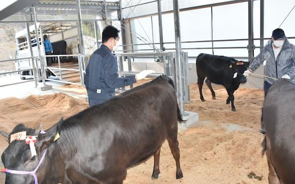 新設した牛舎に子牛を運び入れた(19日、福島県いわき市)