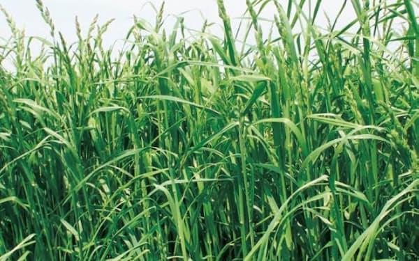 干ばつに強く収穫時期が早い「オーチャードグラス」という種類(新品種「えさじまん」)