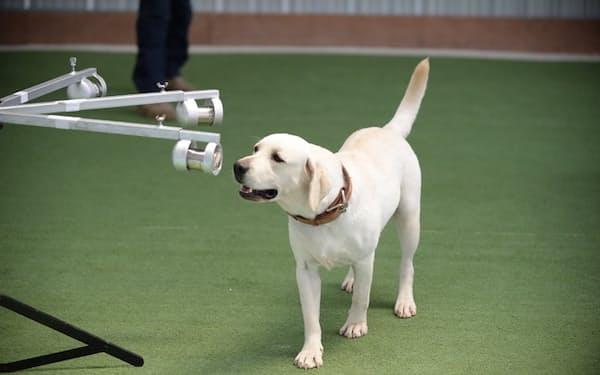 新型コロナウイルスの感染者をかぎわけるタイの探知犬