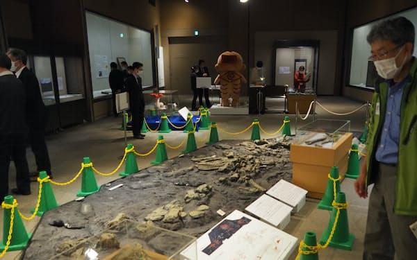 栃木県立博物館の企画展ではクジラ化石が埋もれていた時の様子がレプリカで見られる