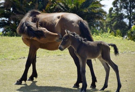 母馬に寄り添う野生馬「御崎馬」の赤ちゃん馬「春駒」(4月、宮崎県串間市)=共同
