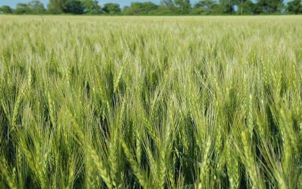 国産小麦のうち北海道産は7割弱を占める