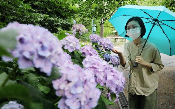 今年はアジサイが咲きそろう前に梅雨入りする可能性も(2020年6月、名古屋市昭和区)