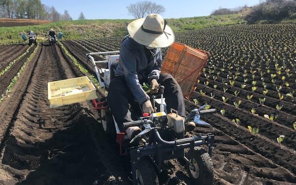 新しいタイプの外国人がキャベツ栽培を支える(5月上旬、群馬県嬬恋村)