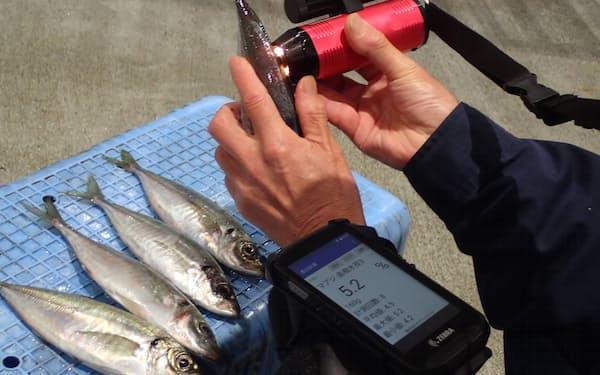 アジに測定器を当て脂質量を計測する(島根県水産技術センター提供)