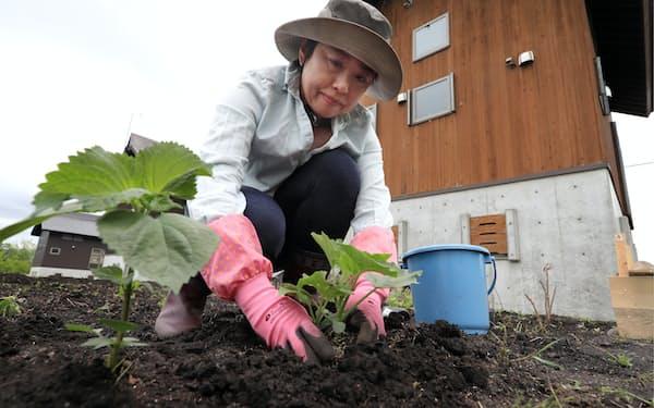 畑にトウガンの苗を植え付ける向井陽美さん(5月、新潟県妙高市)