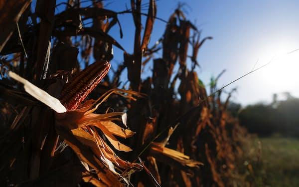 天候不順などがトウモロコシ価格の上昇に拍車をかけている(アルゼンチンの首都ブエノスアイレス郊外の農場)=ロイター