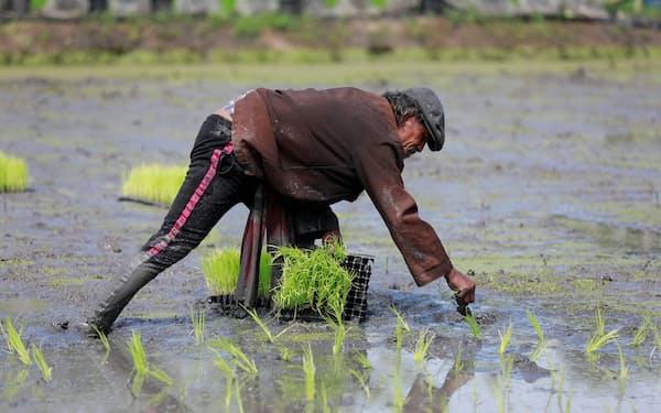 新興国に押され、タイのコメ輸出量は減少が続く(2018年8月、バンコク郊外の水田)=ロイター