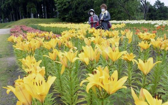 とっとり花回廊の「秘密の花園」が期間限定で公開され、約7千本のユリ畑がお目見えした(11日、鳥取県南部町)=共同