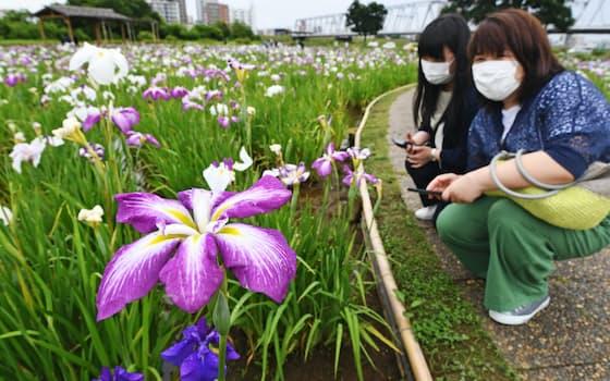 梅雨入りし、見ごろを迎えたショウブを楽しむ人たち(14日午前、東京都江戸川区)=森山有紗撮影