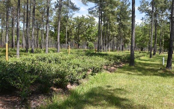 お茶っ葉がとられる通称「チャノキ」栽培の様子。正式名称は「カメリアシネンシス」で、ツバキやサザンカの仲間だ=AP