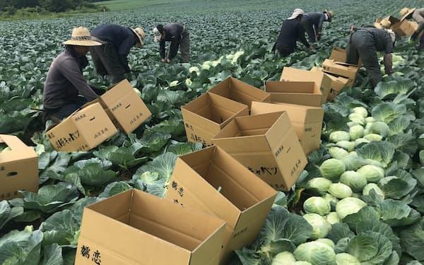 ほぼ輸出がなかったキャベツなどの品目でも輸出準備が進む(20年夏に撮影、群馬県嬬恋村)