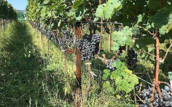相模原市内でぶどうを生産し、地産地消のワインづくりをめざす