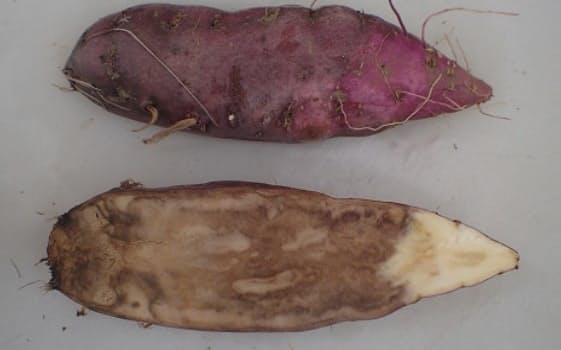 サツマイモ基腐病に感染すると茎や葉が変色し、土中の芋の腐敗が進む