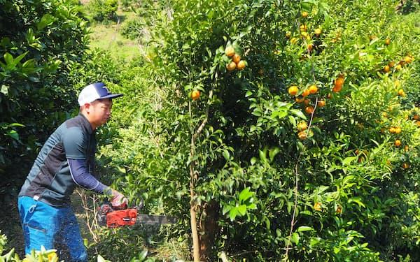 園地の再建に向けて伐採作業に汗を流す清水実郎さん(愛媛県宇和島市吉田町)