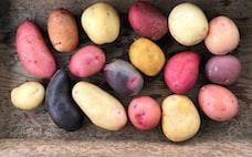 色とりどりのジャガイモ32種、食べ比べで食卓を豊かに