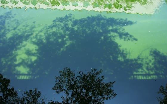 桜並木の影を映す目黒川。水質の悪化で植物プランクトンが増え、緑色に濁っていた