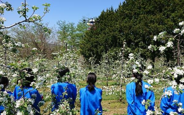名久井農業高と連携し、ドローンを使いリンゴに効率的に授粉する手法を開発した(青森県南部町)