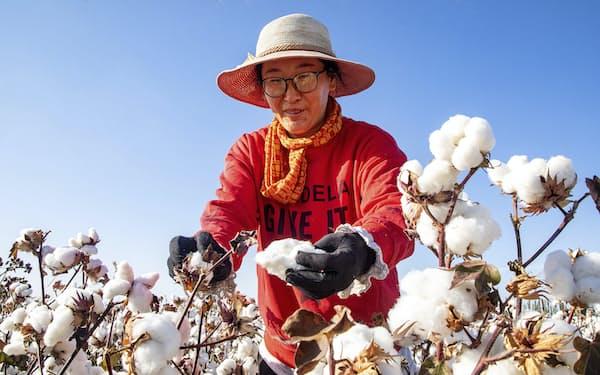中国・新疆ウイグル自治区で綿を採取する人(2020年)=AP